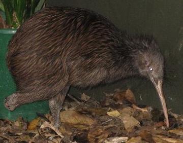 One Legged Kiwi